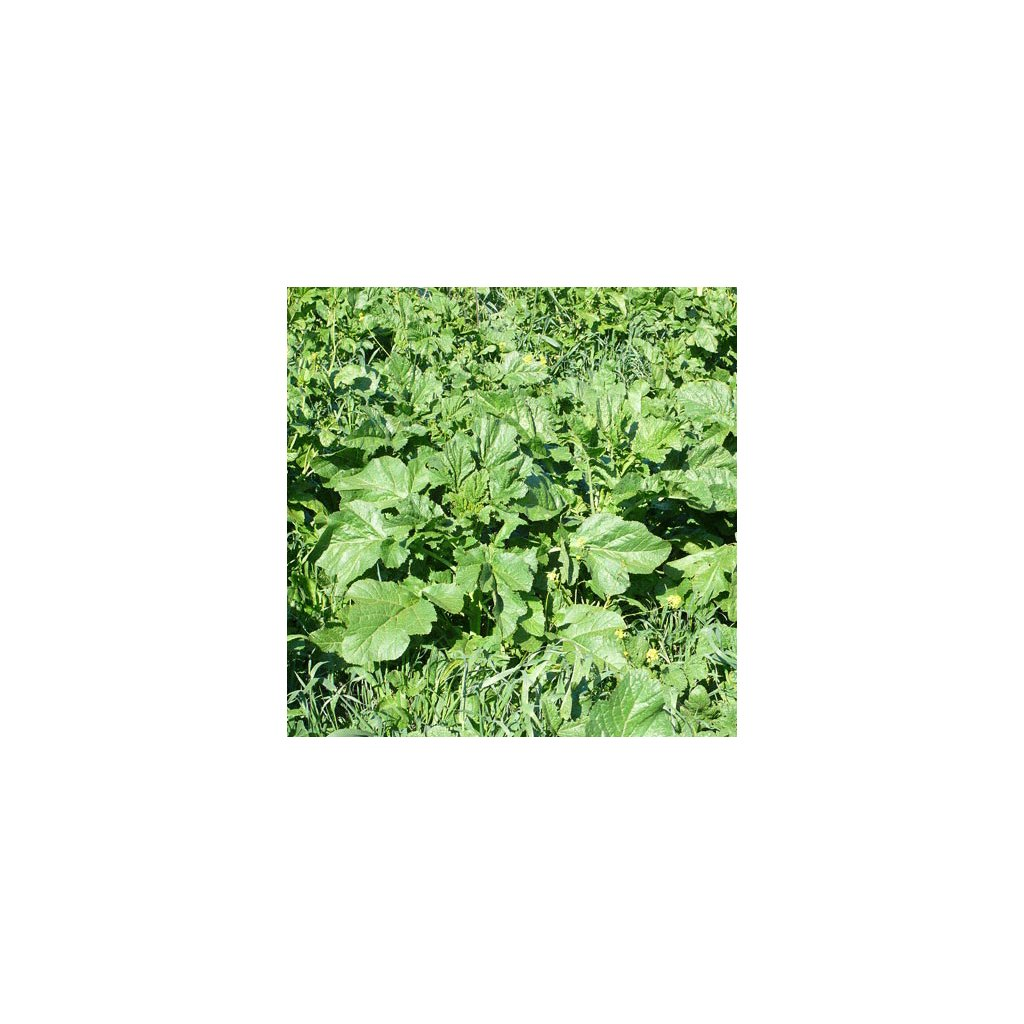 Zelí černá hořčice