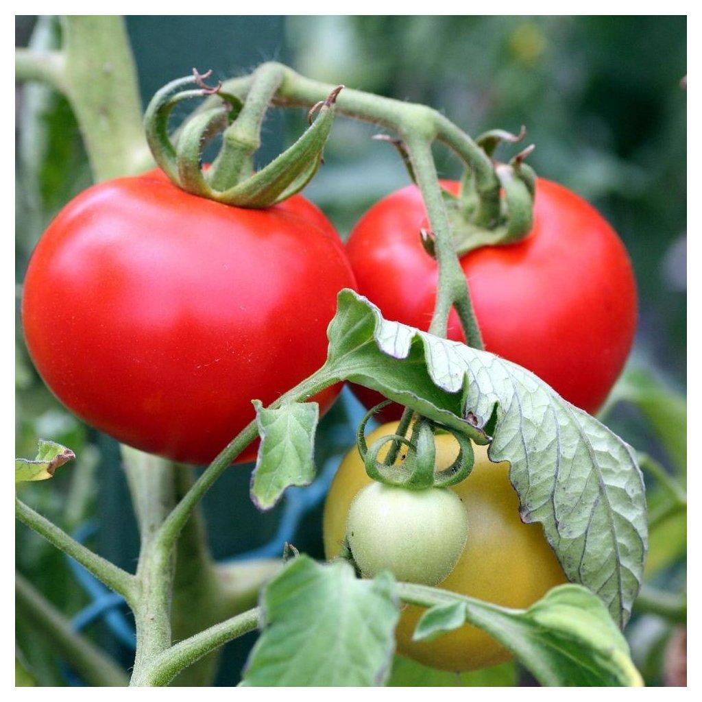 1269858 primo piano di una pianta di pomodoro gratuito foto