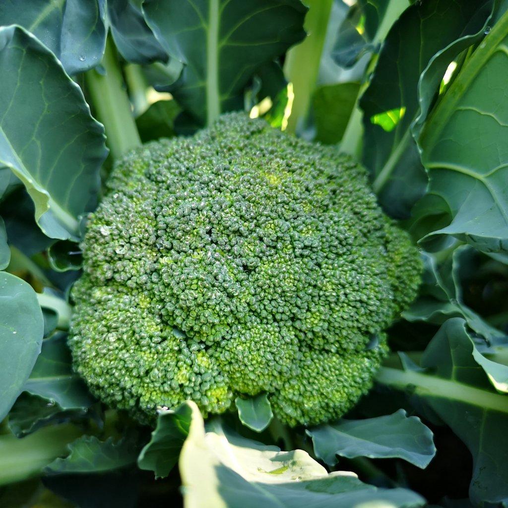 brokolice z kalabrie 1