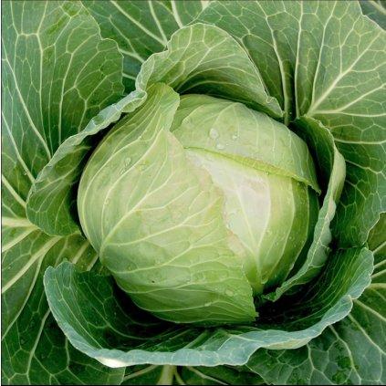 Zelí listové salátové