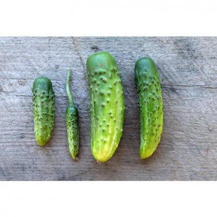 parisian pickle cucumber heirloom 50 days vegetables pinetree garden seeds 765.jpg.webp