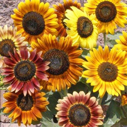 12713 Autumn Beauty Sunflower 1