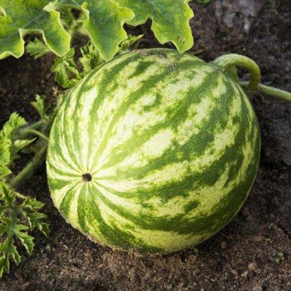 zahrada zelenina meloun 2