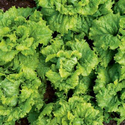 SZ0438 Salát slezký salát web