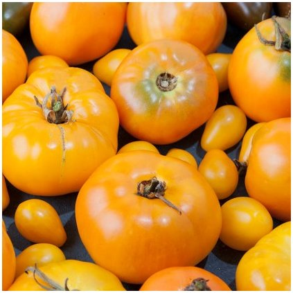 lot ripe fresh yellow tomatoes harvest concept 150893 661