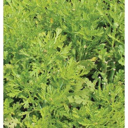 Frilly Edible Chrysanthemum Shungiku Seeds MU534 1 1024x1024