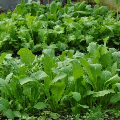 Asijská listová zelenina Grün im Schnee