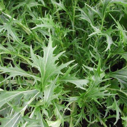 Asijská listová zelenina mizuna