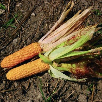 Kukuřice cukrová Ashworth