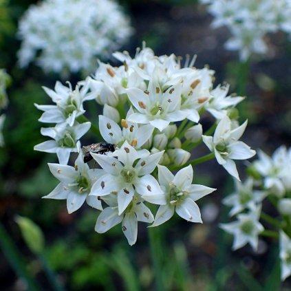 Allium tuberosum kz2