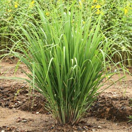 Lemon Grass 153021686SHUT 62c6125f dccd 4126 85c3 9af8823929d6