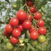 rajče red cherry