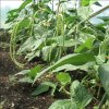 Superdlouhé fazolky Asparagus Metro Rough