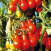 345 rajce cervena hruska