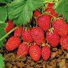 648 jahody alpske barona von solemachera