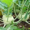 Kohlrabi Early White Vienna
