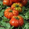 Tomate Delizia F1 en plants 4209 1 1