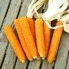 kukuřice pukancová