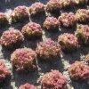 salat karminola 340x340
