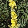 Verbascum densiflorum Bertol. 1F