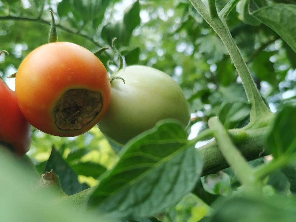 Hnednutie špičiek plodov rajčín