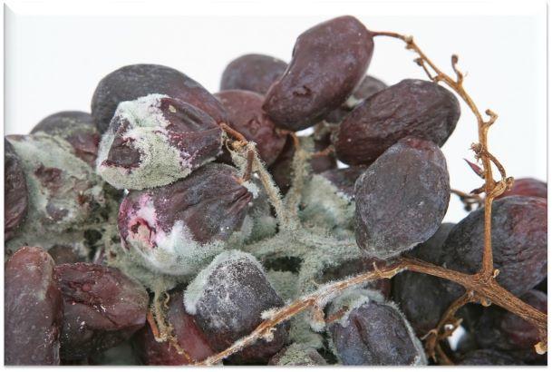 Ako biologickou cestou ochrániť vinič pred plesňou sivou (Botrytídou)?
