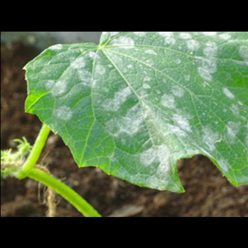 Ako bojovať proti múčnatke uhorkovej ekologickými prípravkami.