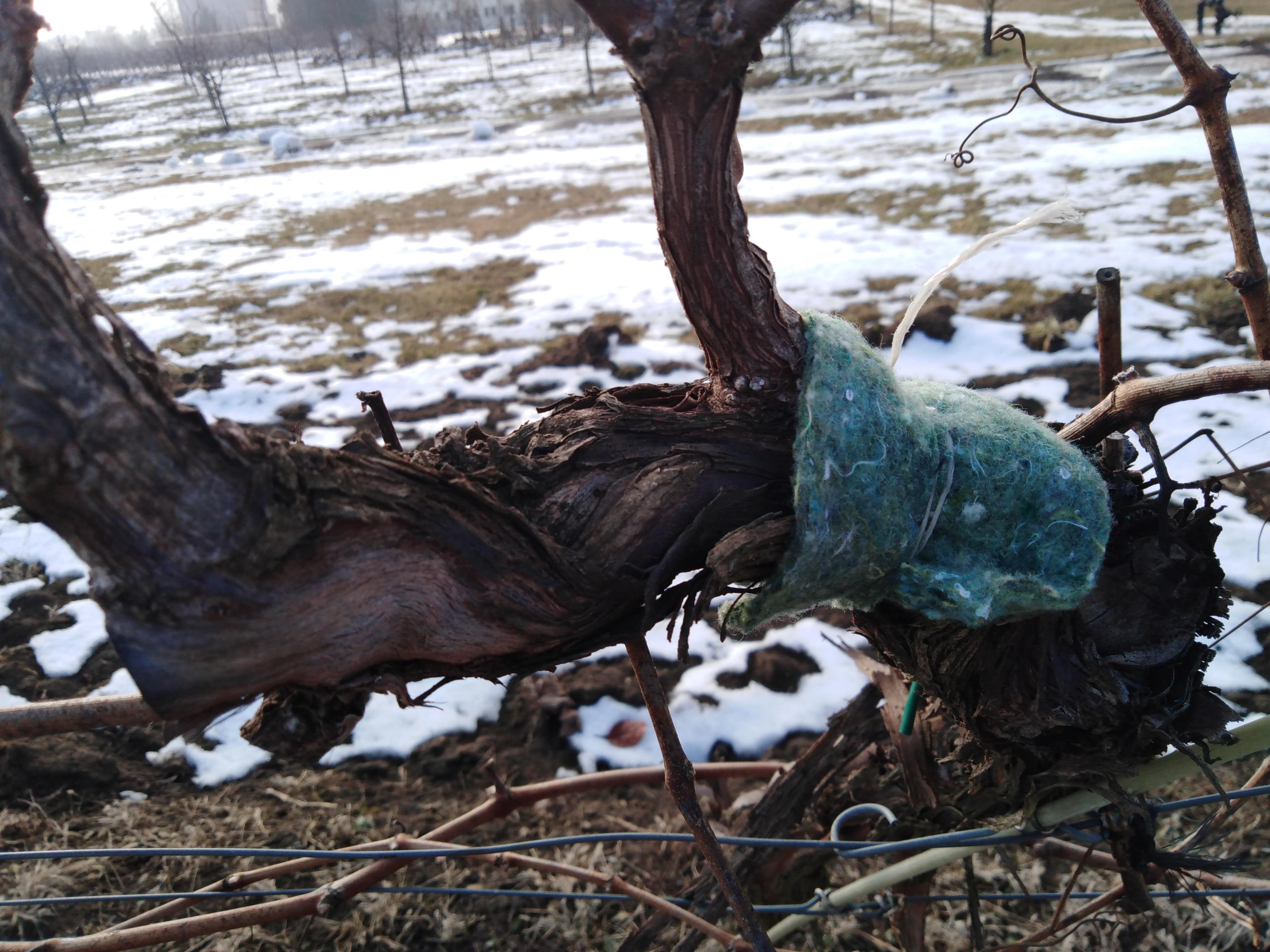 Biologická ochrana sadov a viníc proti roztočom pomocou dravých roztočov - Typhlodromus pyri