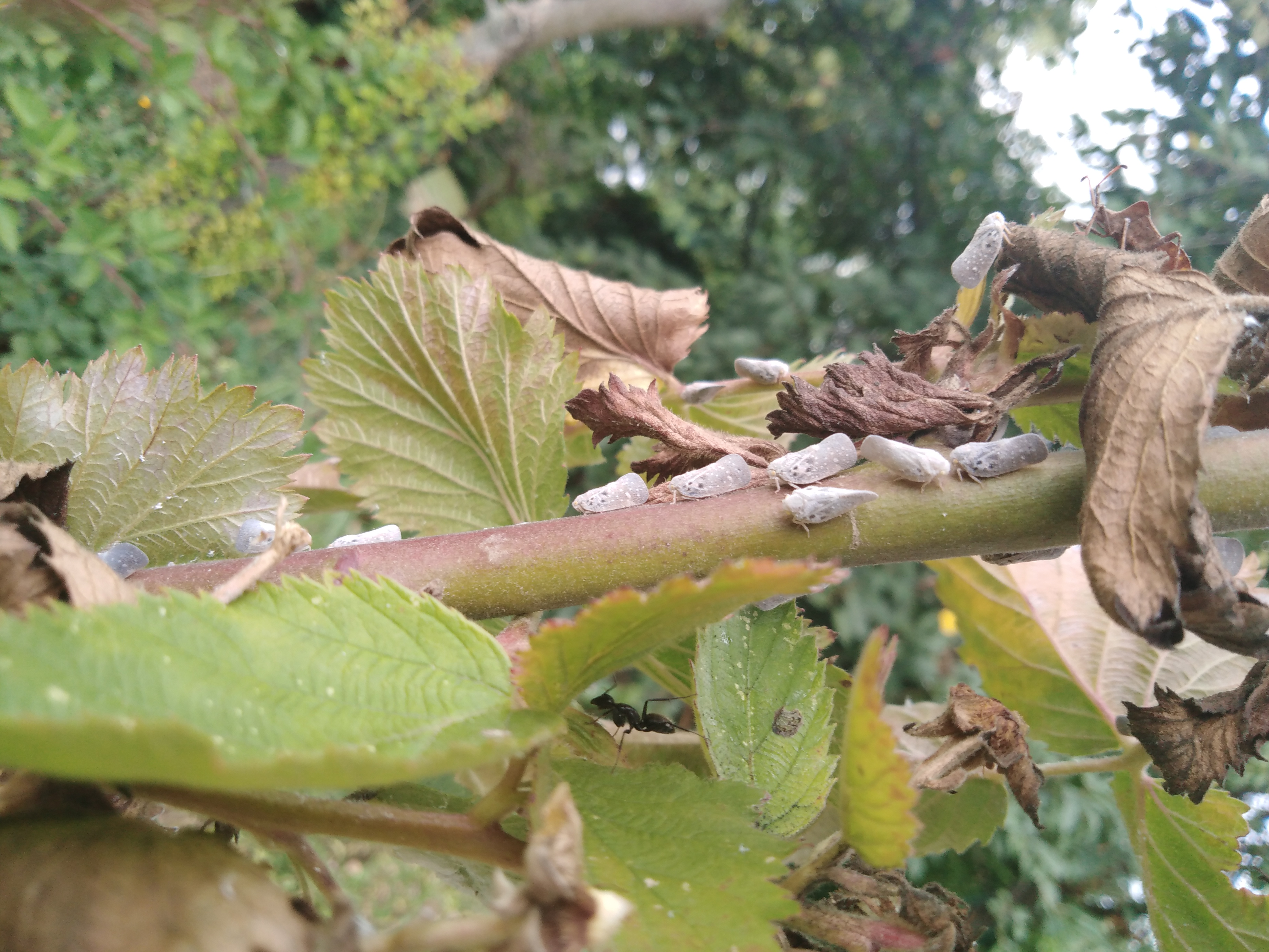 Voskovka zavlečená - Nový škodca v záhradách a ovocných sadoch