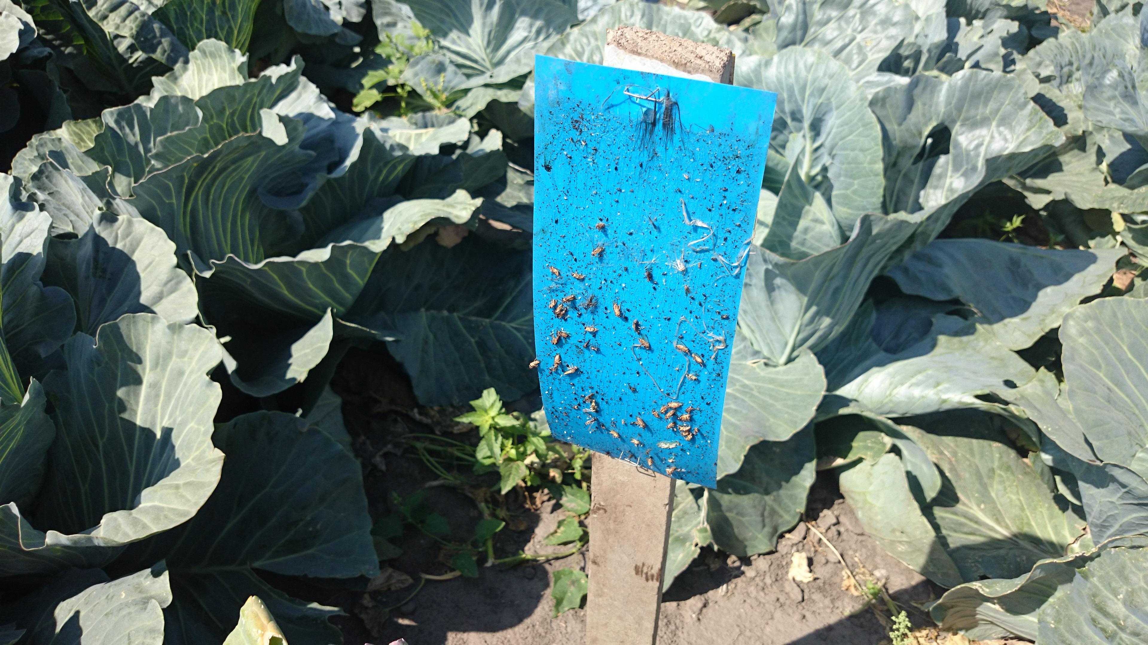 Máte striebristé škvrny na rastlinách? Skontrolujte či sa strapky nehostia Vašimi rastlinkami.