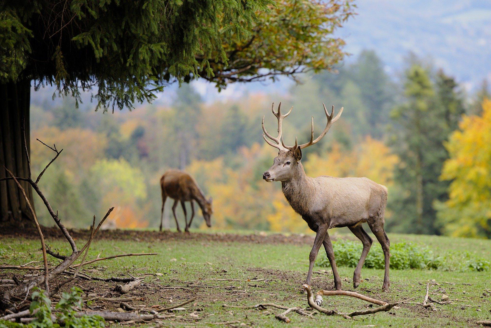 deer-5664425_1920