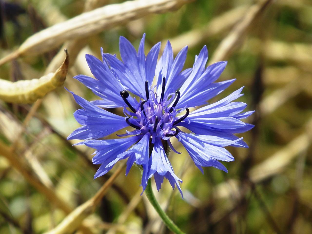 cornflower-388960_1280