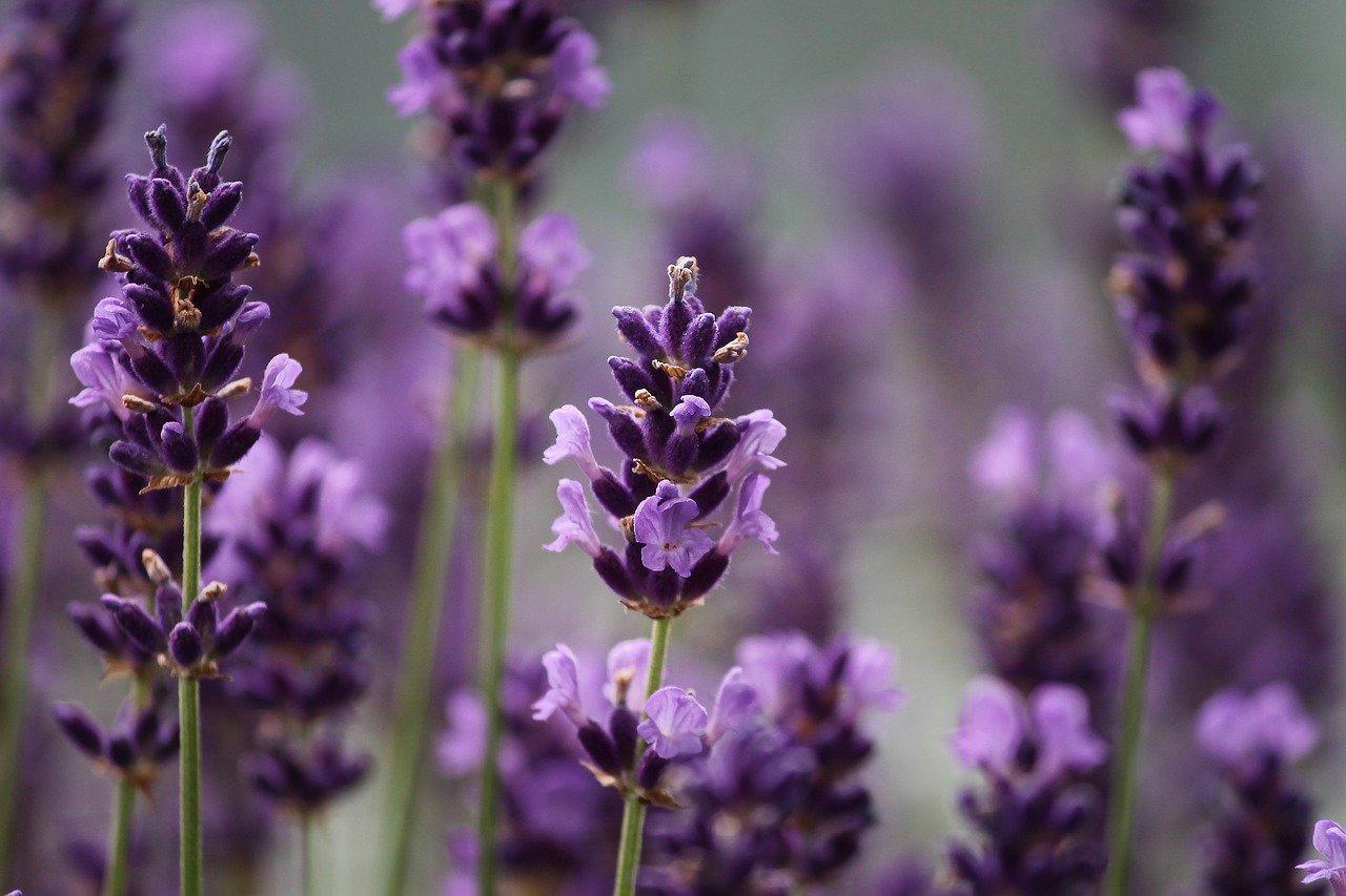 lavender-3479492_1280