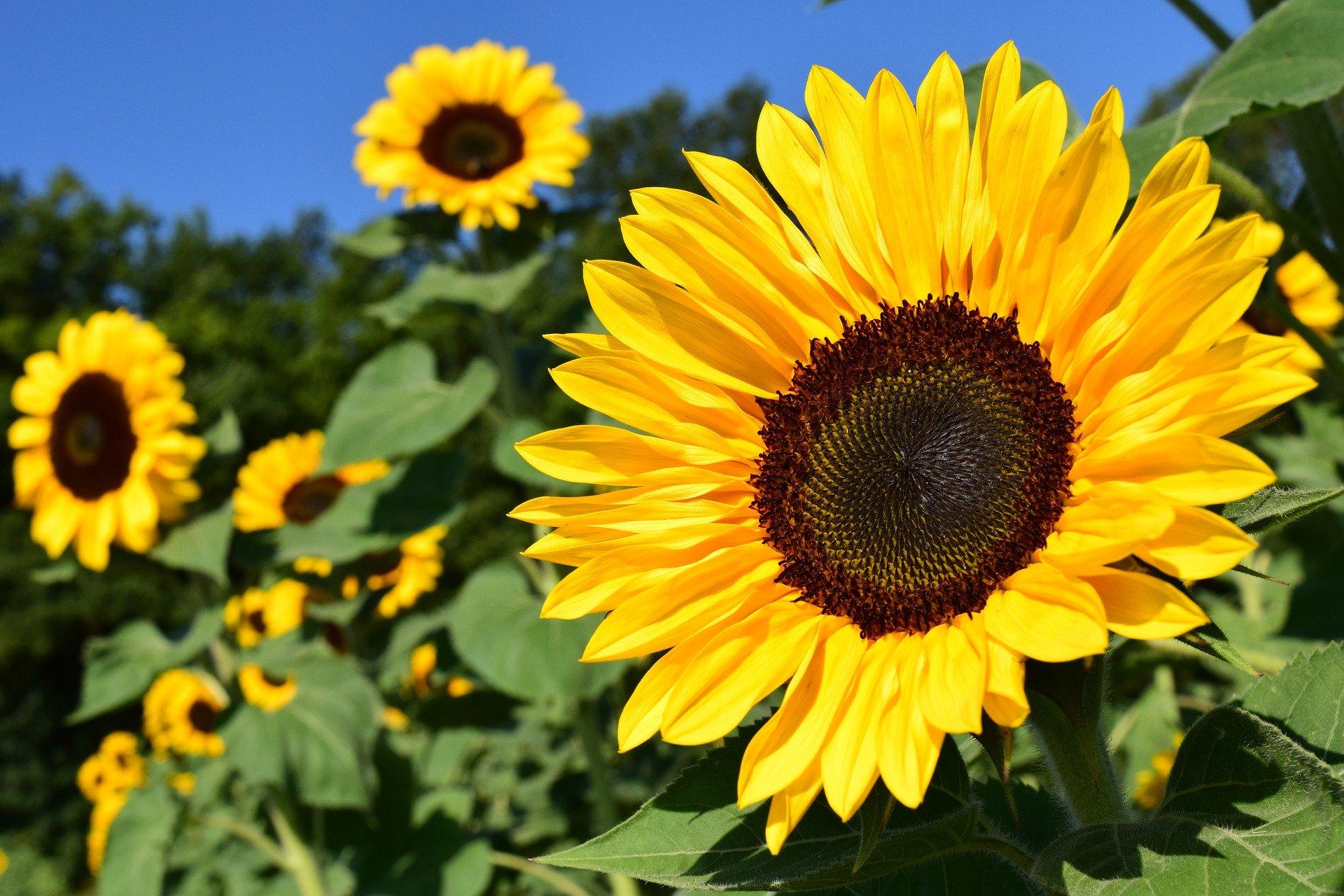 sunflower-1627193_1920