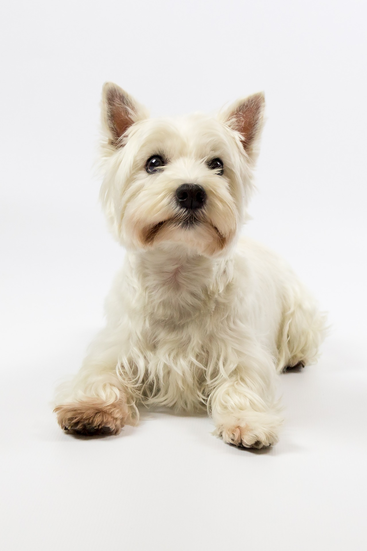 west-highland-terrier-1921859_1920