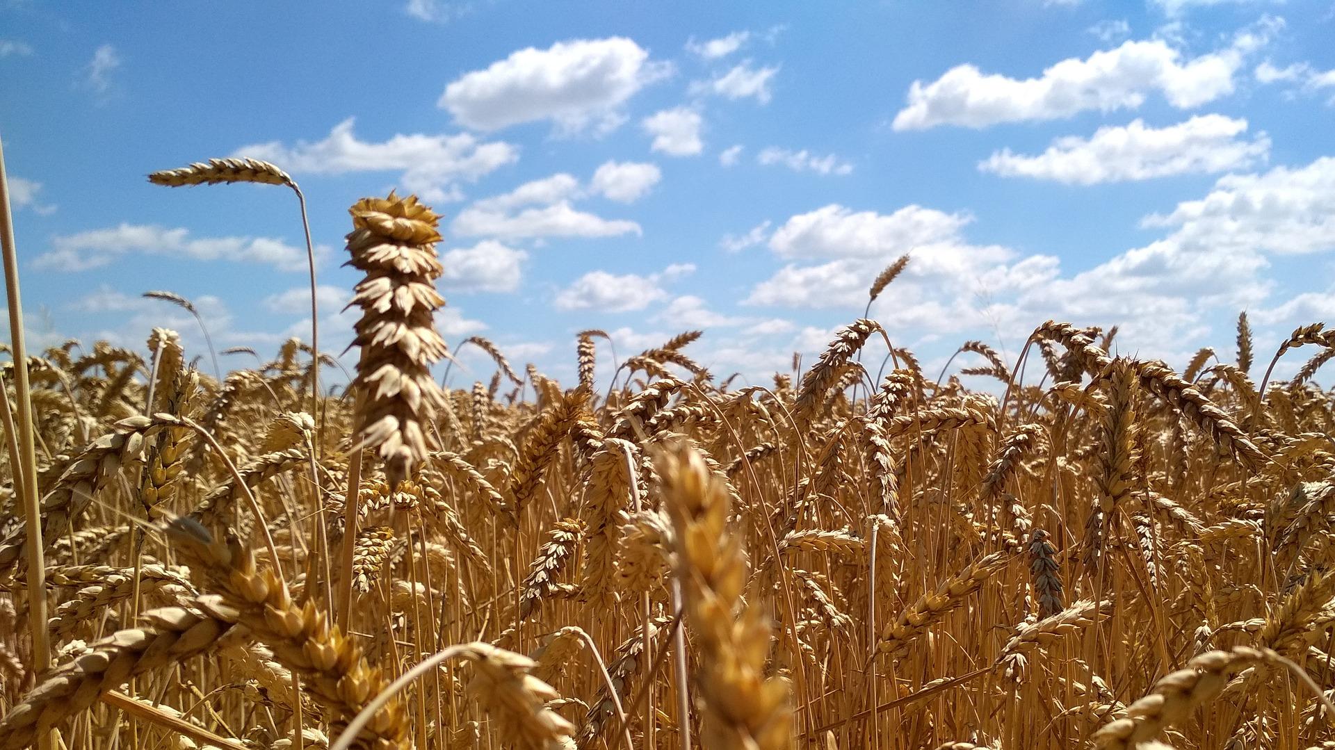 wheat-field-2554819_1920