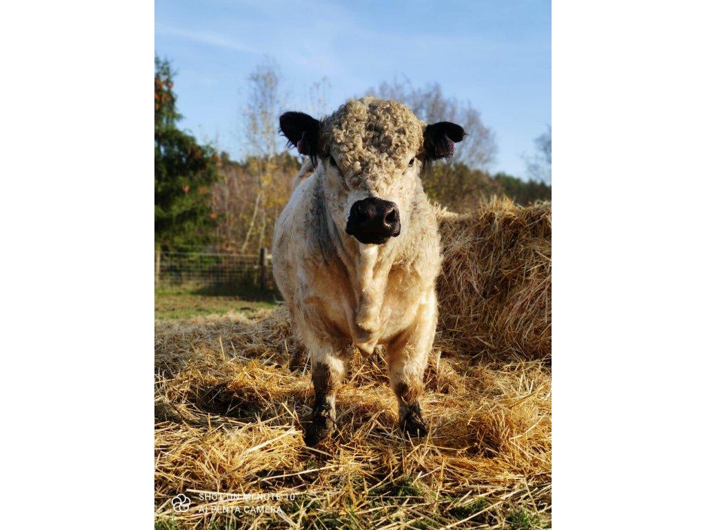 GALLOWAY Hověz kýta - VRCHNÍ ŠÁL  100% grass fed z farmy Letařovice