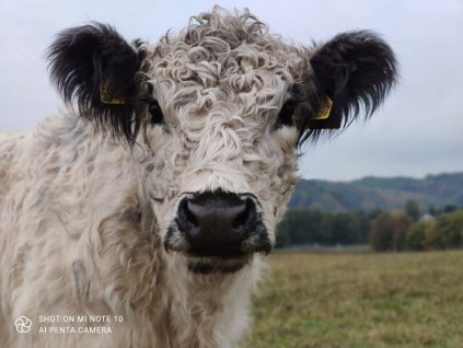 GALLOWAY Hovězí PUPEK NA POLÉVKU bez kosti  100% grass fed z farmy Letařovice