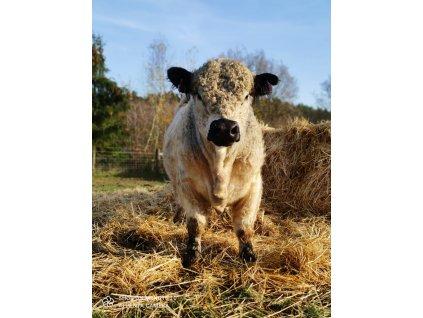 GALLOWAY Hovězí RIB EYE STEAK na kosti  100% grass fed z farmy Letařovice