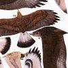 Sokol stěhovavý, Orel skalní, Káně rousná