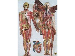 Člověk - lidské tělo
