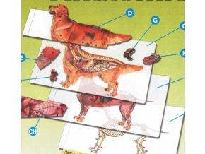 Pes - Zlatý retrívr