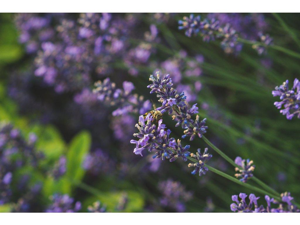 FOTOOBRAZ - Levandulovááá včelka