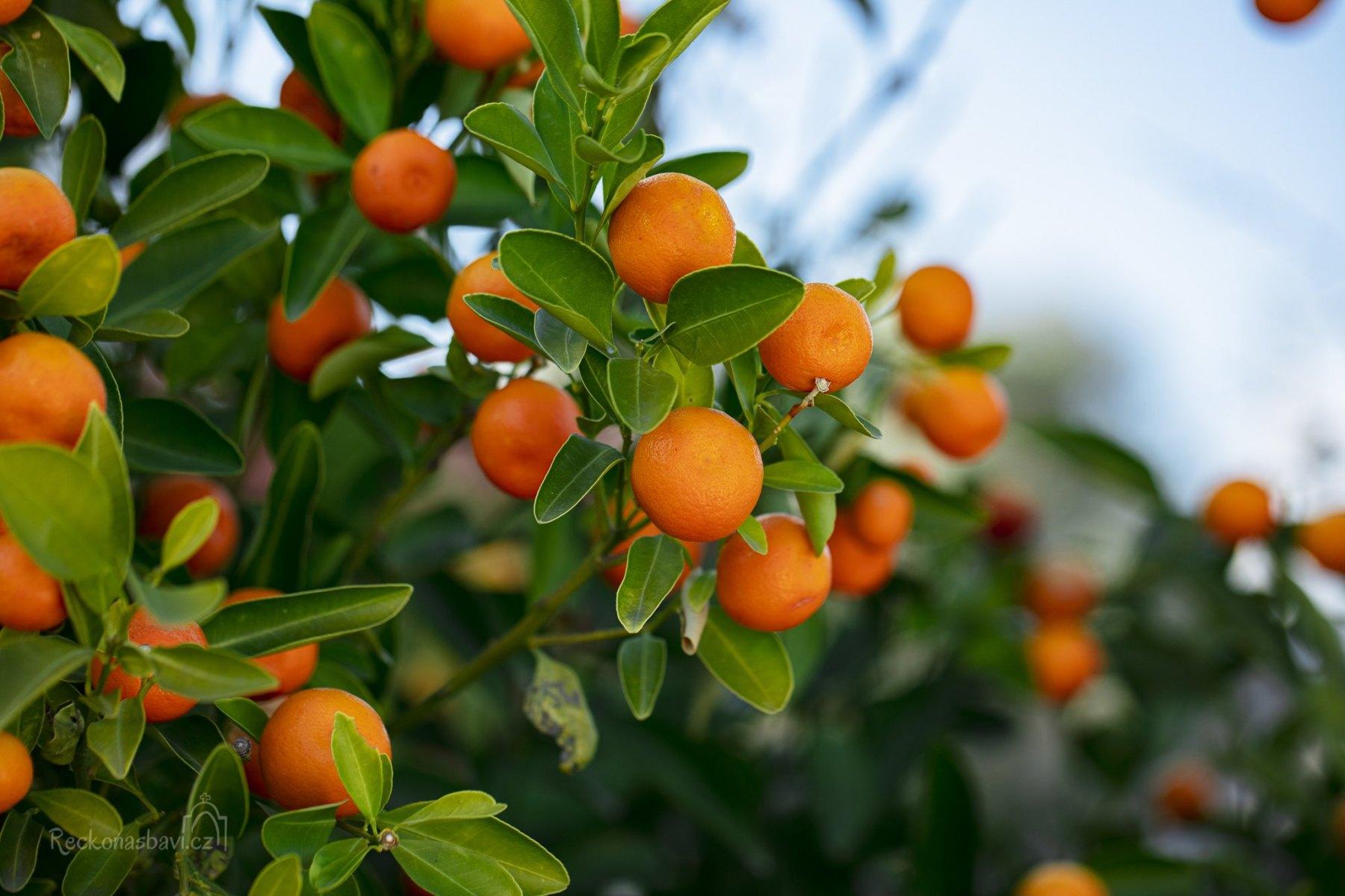 Kumquat_Korfu