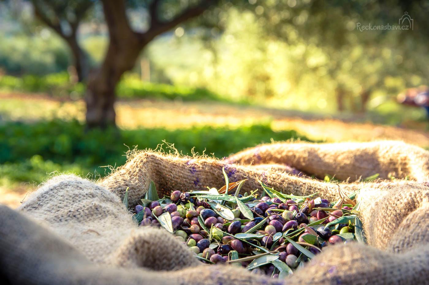 Olives_field_Greece