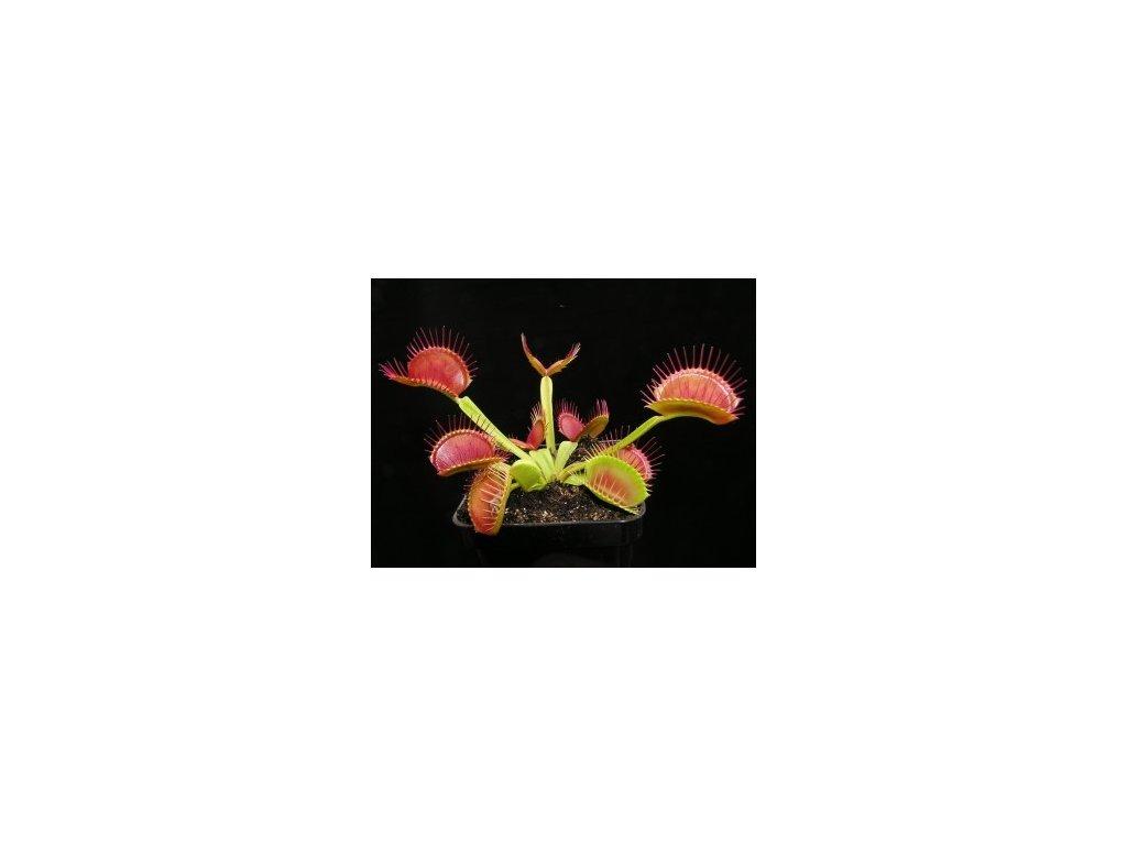 Dionaea muscipula (mucholapka podivná) - základní forma, střední rostlina - 5-7 cm
