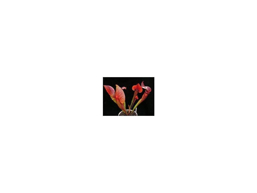 Sarracenia - polovzpřímený hybrid bez bílých znaků, střední rostlina