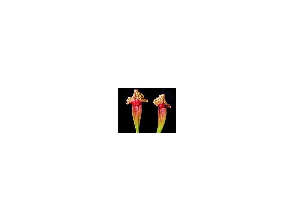 Sarracenia - polovzpřímený hybrid s bílými znaky, malá rostlina