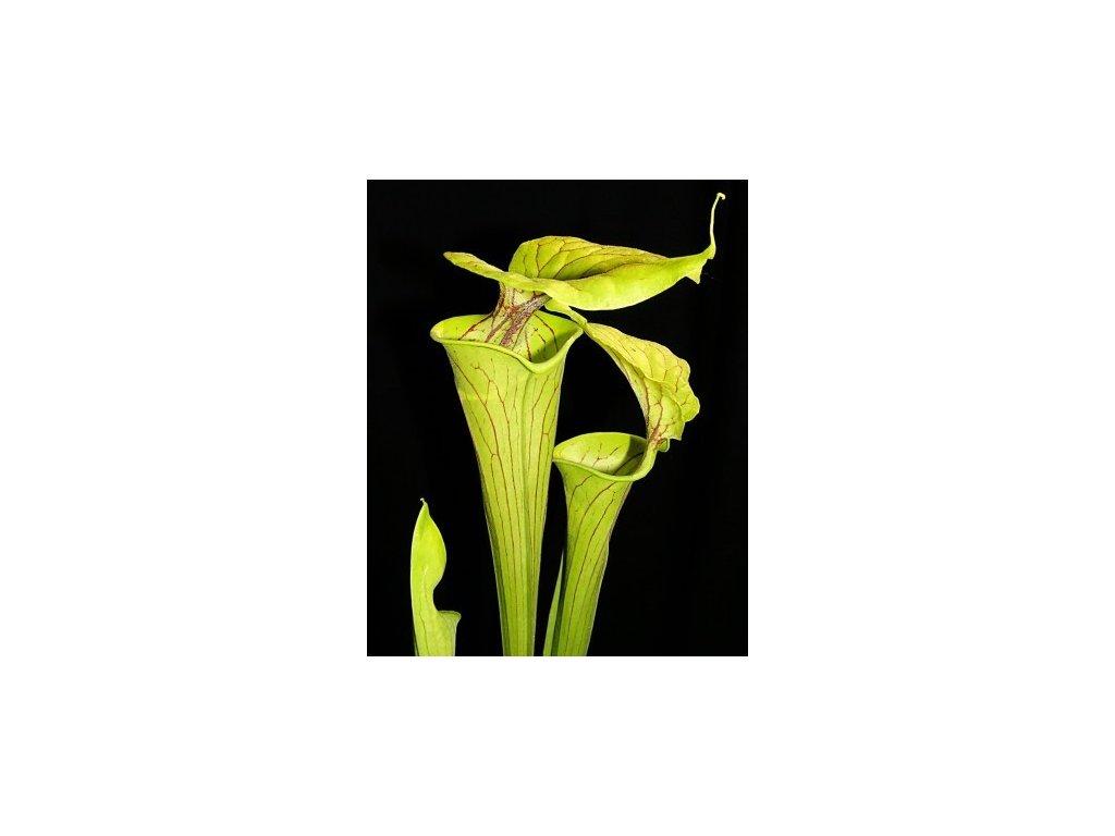 Sarracenia flava var. flava, dospělá rostlina