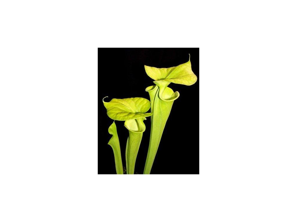 Sarracenia flava var. maxima, střední rostlina